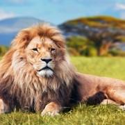 Proud-Lion